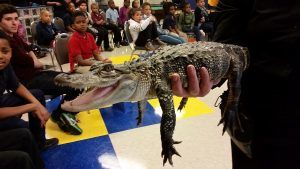 Boca the American Alligator smiles for the camera