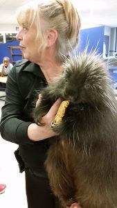 Porcupine eating a granola bar